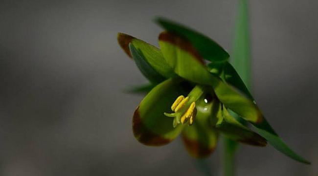 Karabük'te Yeni Bir Endemik Bitki Türü Keşfedildi