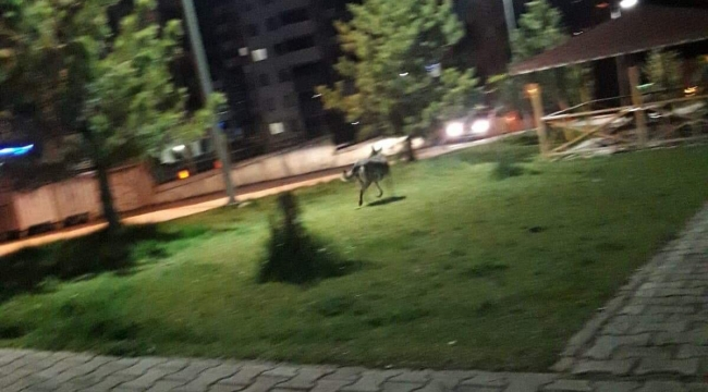 Karabük'te şehre inen kurt ortalığı karıştırdı
