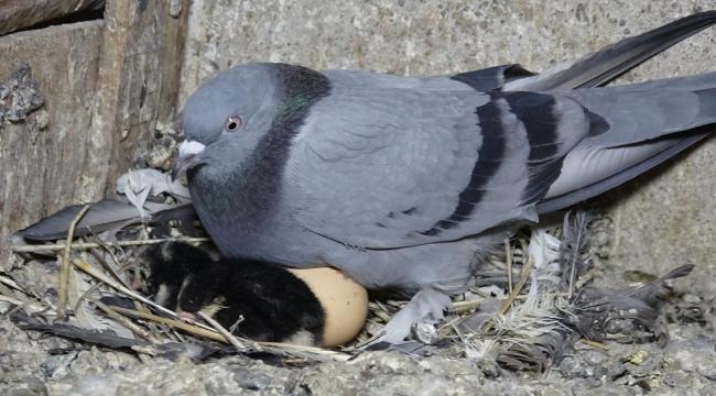 Güvercinden tavuk çıktı